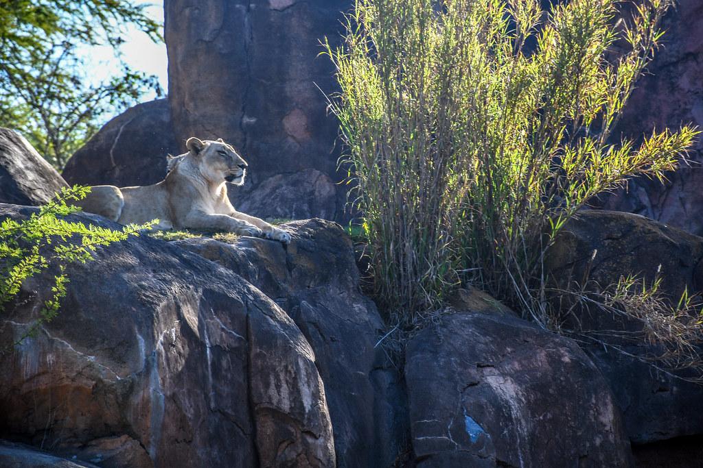 Safari AK lion