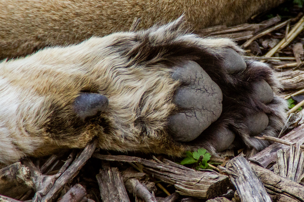 2021 - 04 - 17 - EOS 600D - Lioness Paw - Chester Zoo - 000