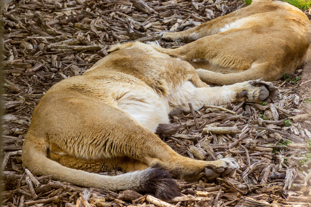 2021 - 04 - 17 - EOS 600D - Lioness - Chester Zoo - 002