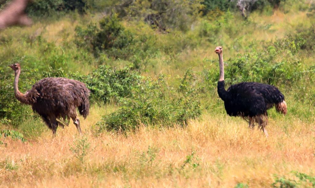 Birds. Common Ostrich. Kruger National Park. South Africa. Mar/2021