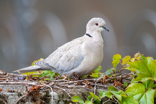 Tourterelle turque / Eurasian Collared Dove