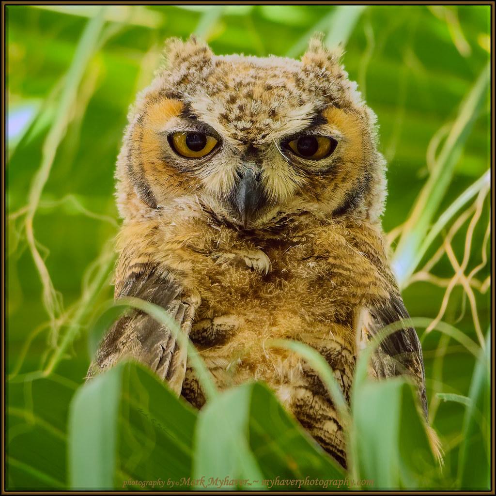 Great Horned Owl s181027