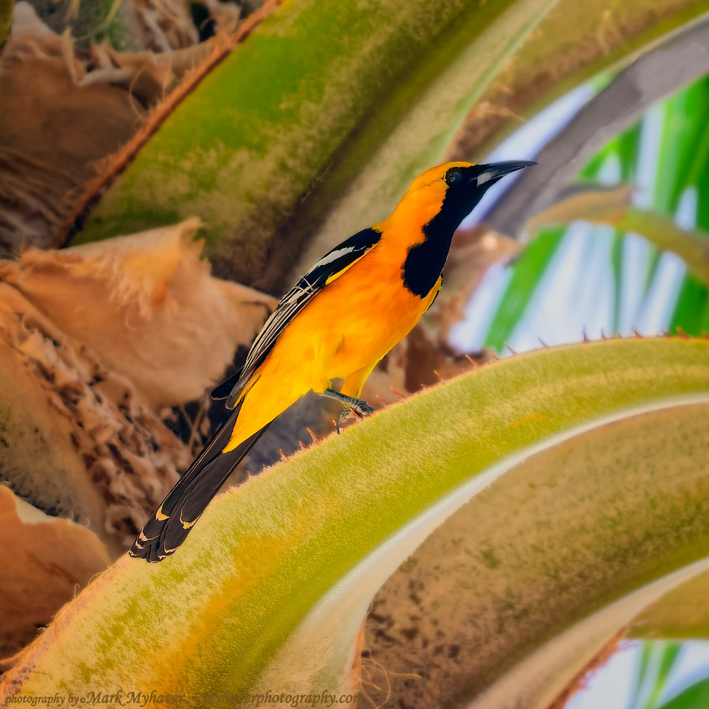 Hooded Oriole s132419