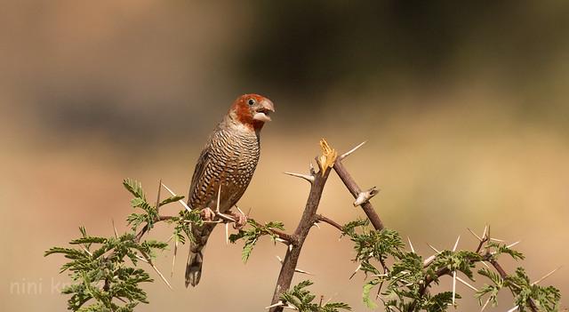 Red-headed finch - Kgalagadi Transfrontier nat'l park