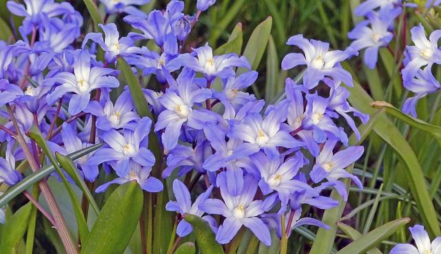 002  Ipheion Star Flower