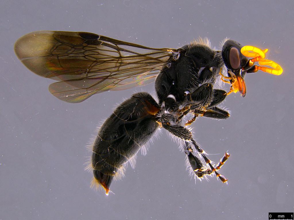 17a - Hymenoptera sp.