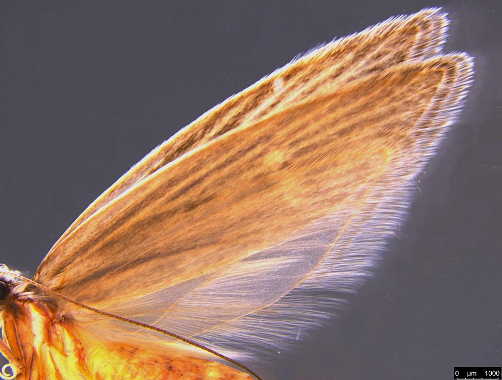23c - Oecophorinae sp.