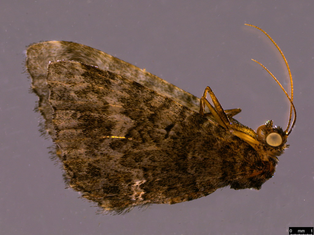 26 - Epyaxa sodaliata (Walker, 1862)