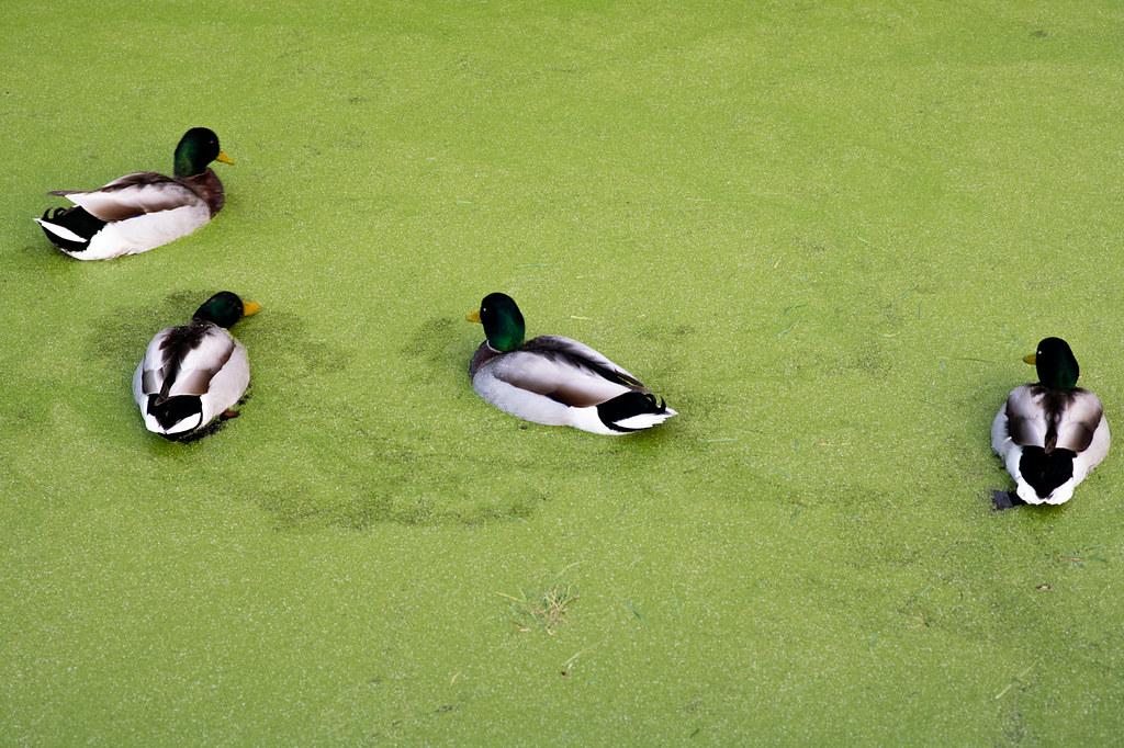 ducks against chroma