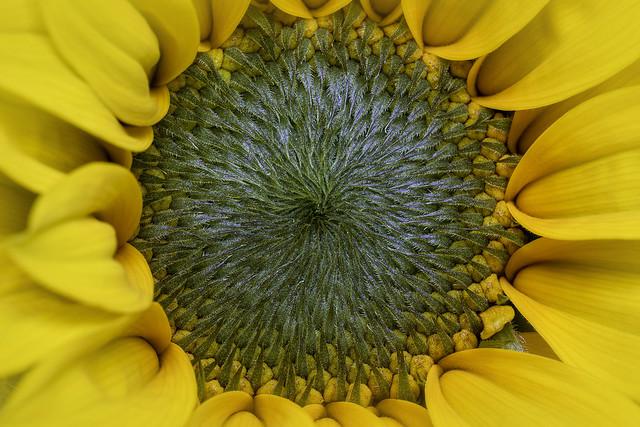 Topolino Sunflower