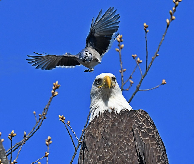 Bald Eagle Pestered By a Blue Jay