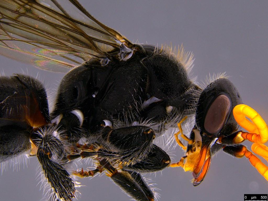 17c - Hymenoptera sp.