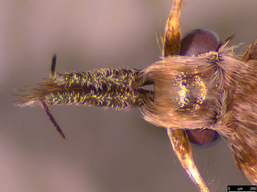 21b - Oecophorinae sp.