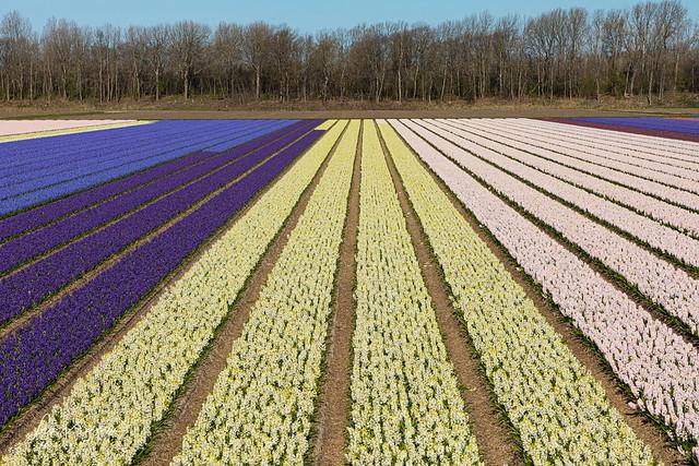 Hyacinths [Explore]