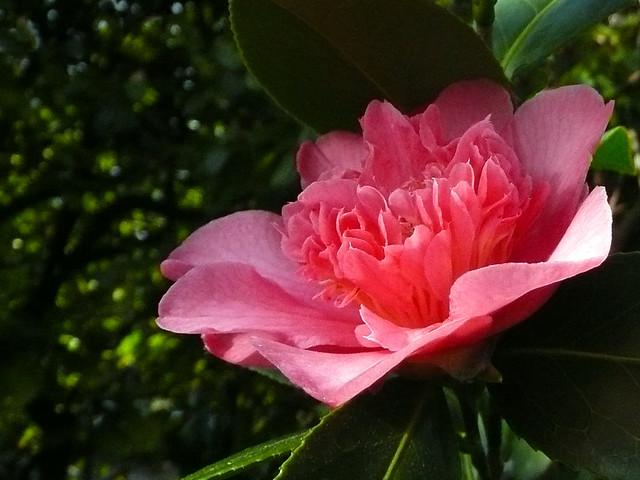 Camellia Wilber Foss