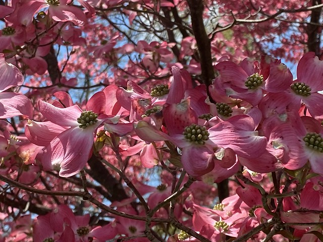 Pink Dogwood ~ up close & personal
