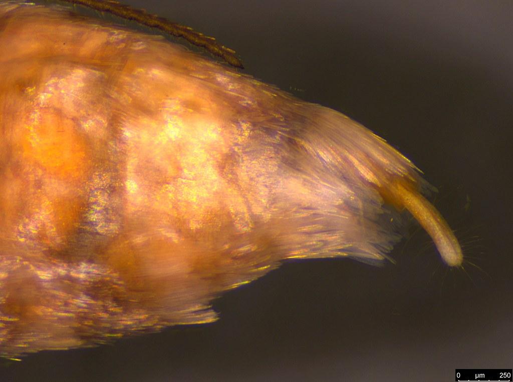 23e - Oecophorinae sp.