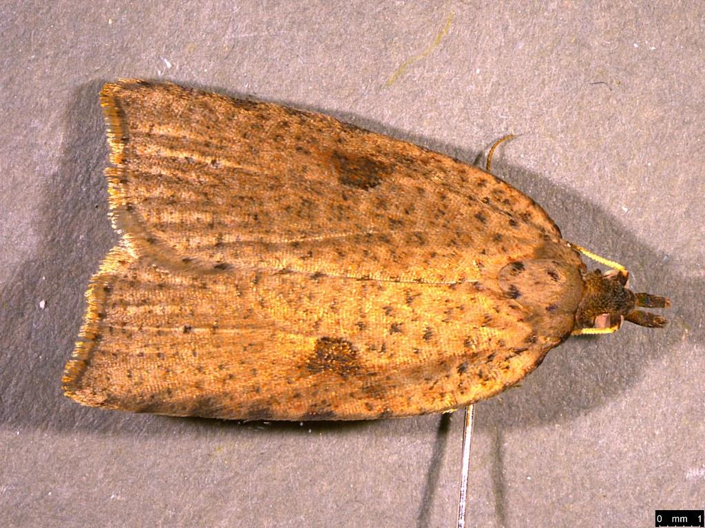 25a - Meritastis polygraphana (Walker, 1863)
