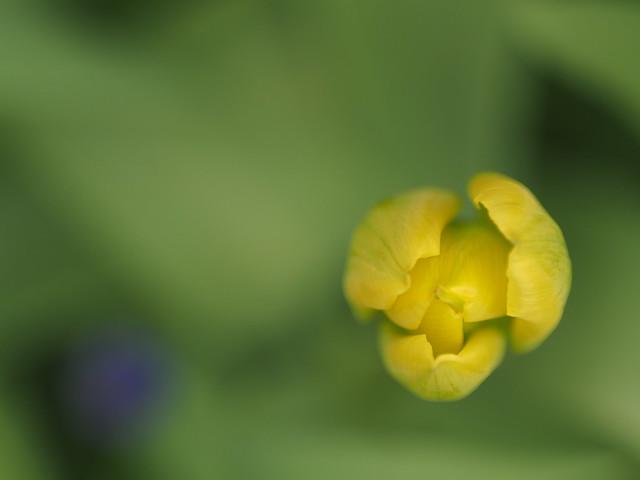Tulpen aus dem Garten 3