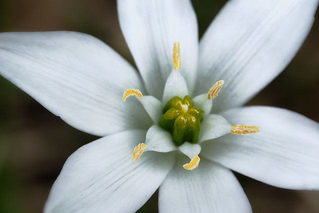 White - Garden star-of-Bethlehem, grass lily, nap-at-noon, or eleven-o'clock lady