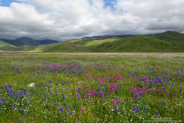 Owl's Clover and Lupine