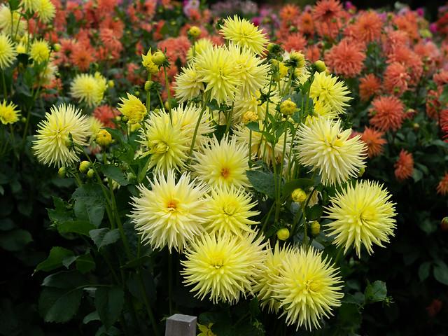 Cactus Dahlias - Portland Botanical Garden
