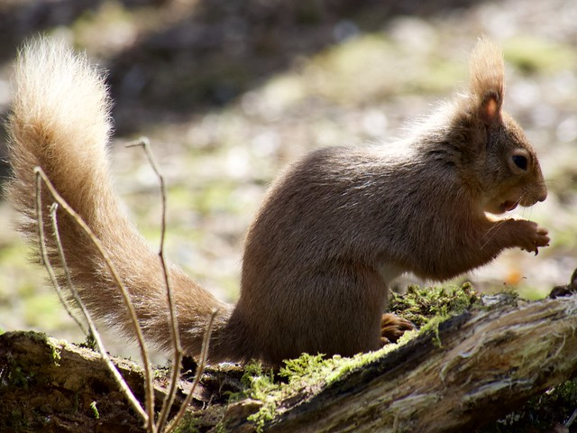 Red Squirrel at Threave