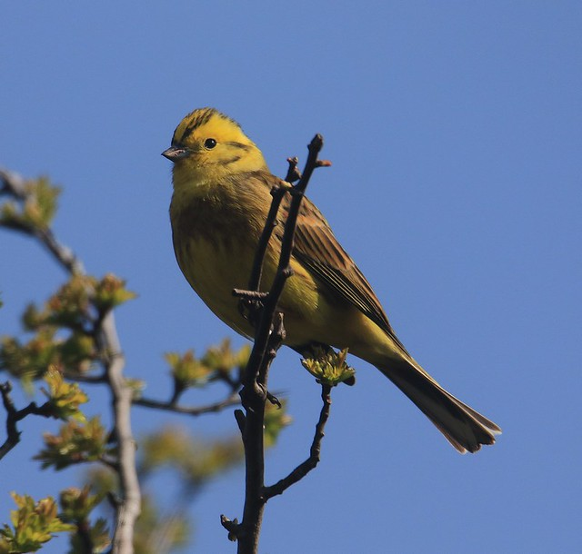 Cock Yellowhammer - Aggs Hill