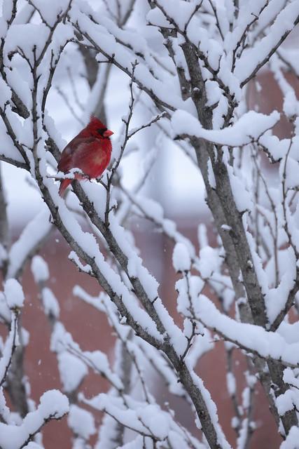 Cardinal in Snowy Bush.