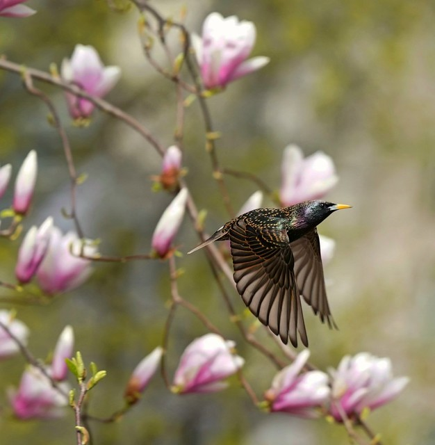 Starling and Magnolia flowers , behind the Met , Central park.