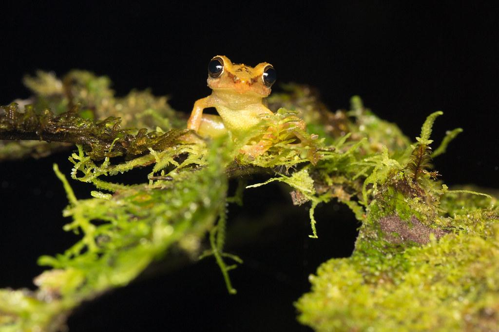 Cutín del Chocó (Pristimantis latidiscus)