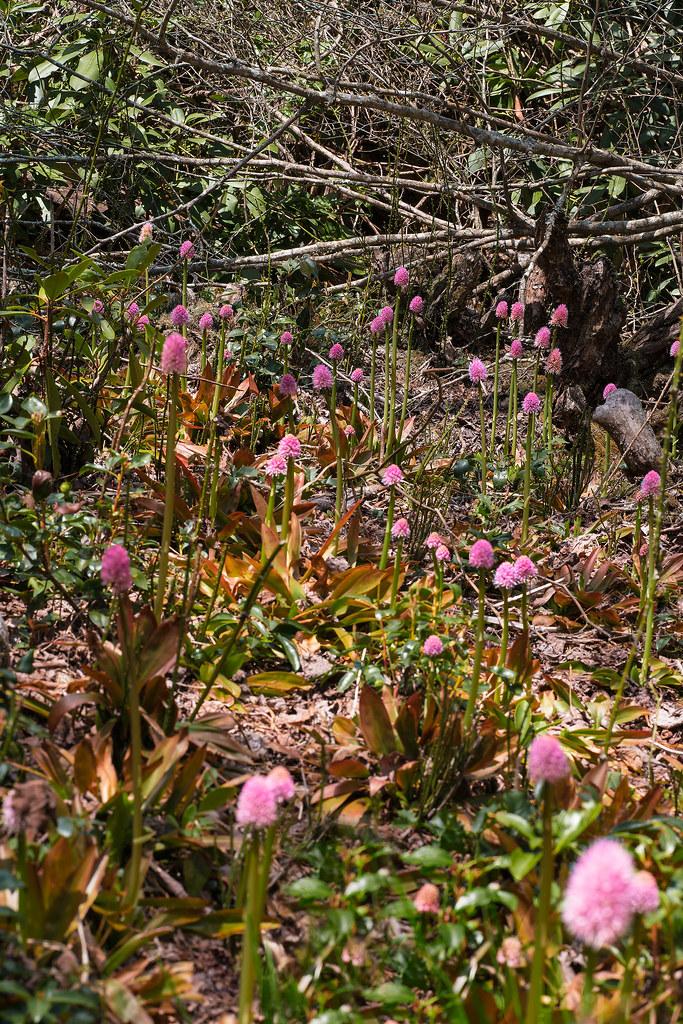 Swamp Pink bog