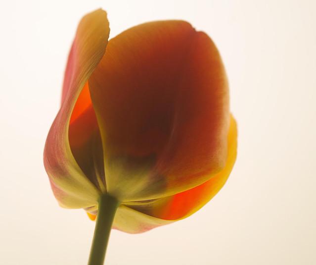Tulip On A Lightbox (1)