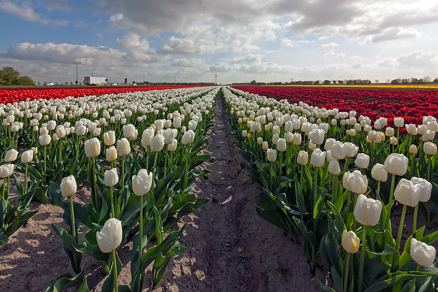 the month of the tulips