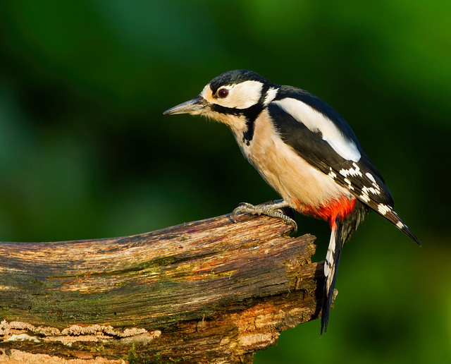 Male Great Spotted Woodpecker ( Dendrocopos major ) -Woody on a log
