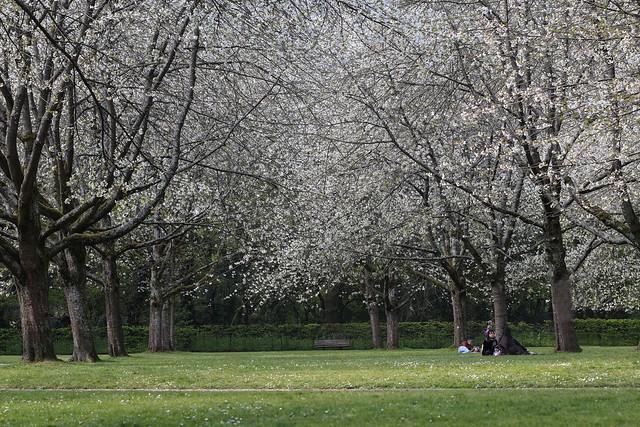 A l'ombre des cerisiers