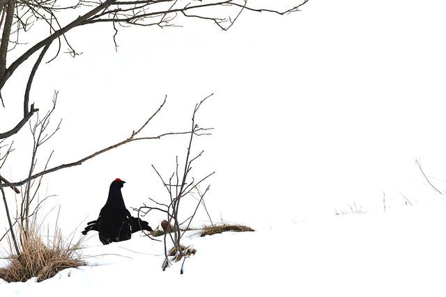 Black grouse ♂️ (Lyrurus tetrix)