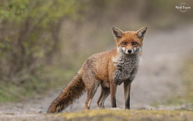 Female Fox (Vixen)