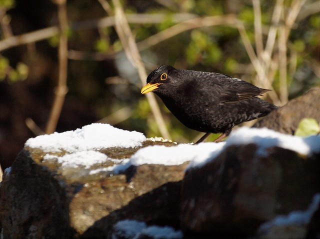 BLACK and WHITE,.....Blackbird checking the coast is clear,....... Baxenden, Lancashire, UK.
