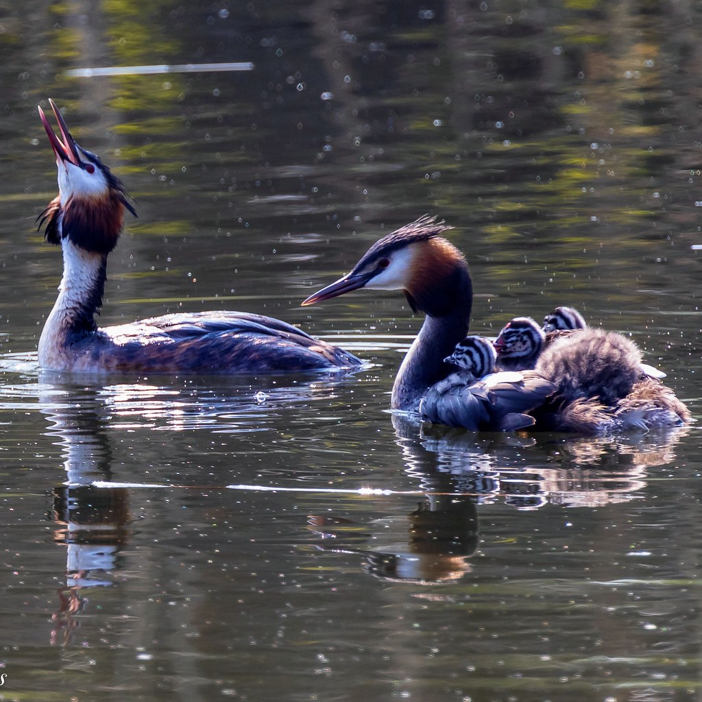 Beautiful family grebe with the children