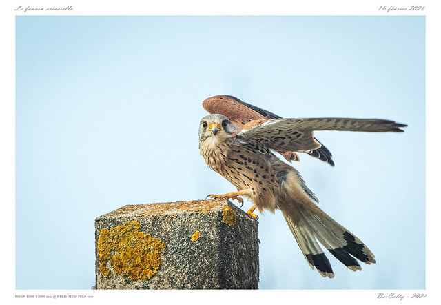 Le faucon crécerelle | Common Kestrel
