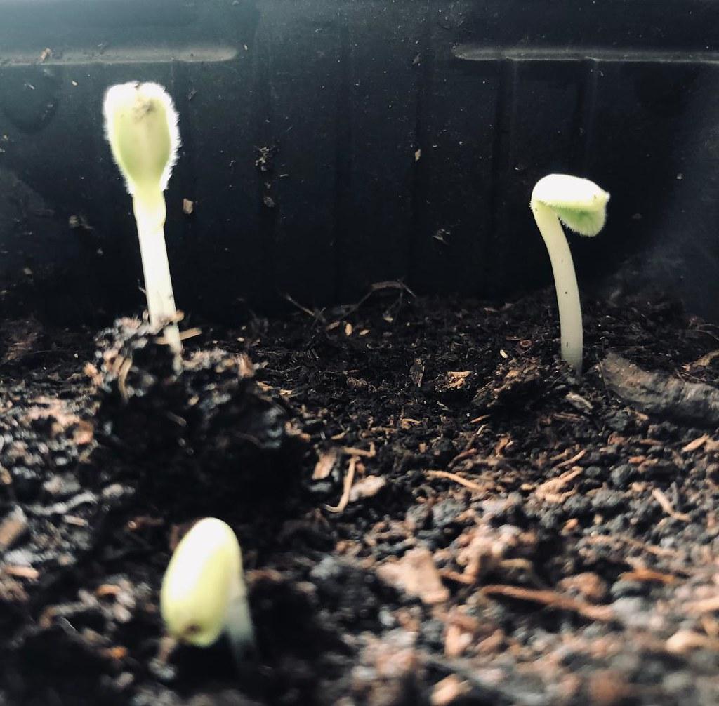 Semis de bourrache