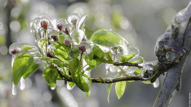 Fleurs de Poirier sous Glace