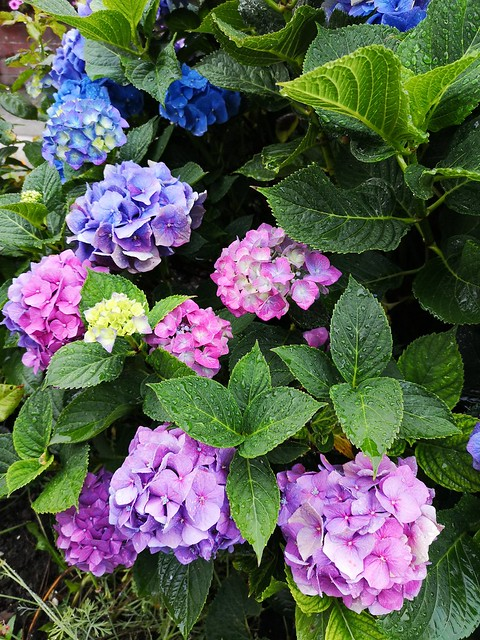 An image of a hydrangea, © Icy Sedgwick