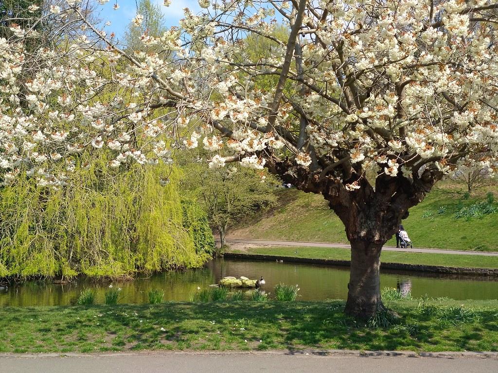 Blossom in Sefton Park, Liverpool