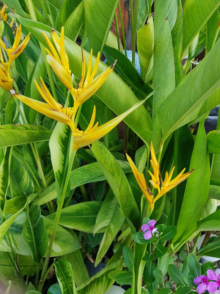 Heliconia psittacorum L.f. Heliconiaceae - Parrot's Beak, พุทธรักษาญี่ปุ่น 4