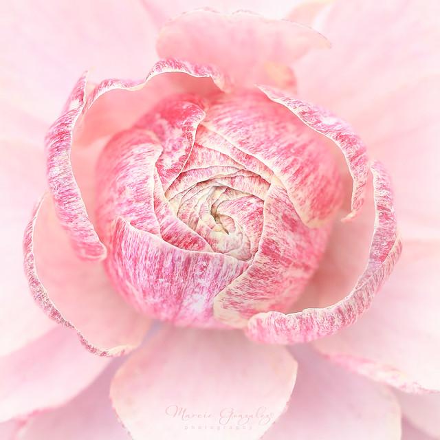 The Flower Fields, Carlsbad 4.21.21 2
