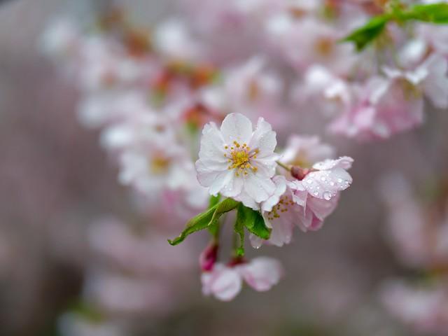 210411 Sakura 230 (stock) - Flickr