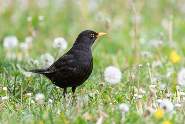 Merle noir / Common Blackbird