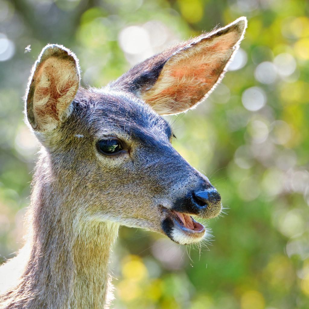 Translucent reddish ears